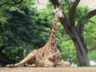 Giraffe chilling